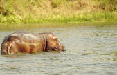 Hippopotamus swims in the water — Stock Photo
