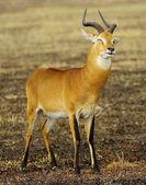 African antelope blicks — Stock Photo