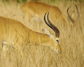 Antelope in the grass — Stockfoto