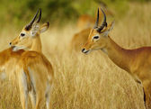 Africa antelopes together — Stock Photo