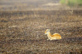 Antelope lays on the ground — Stock Photo