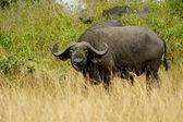 Buffalo in Africa — Stock Photo