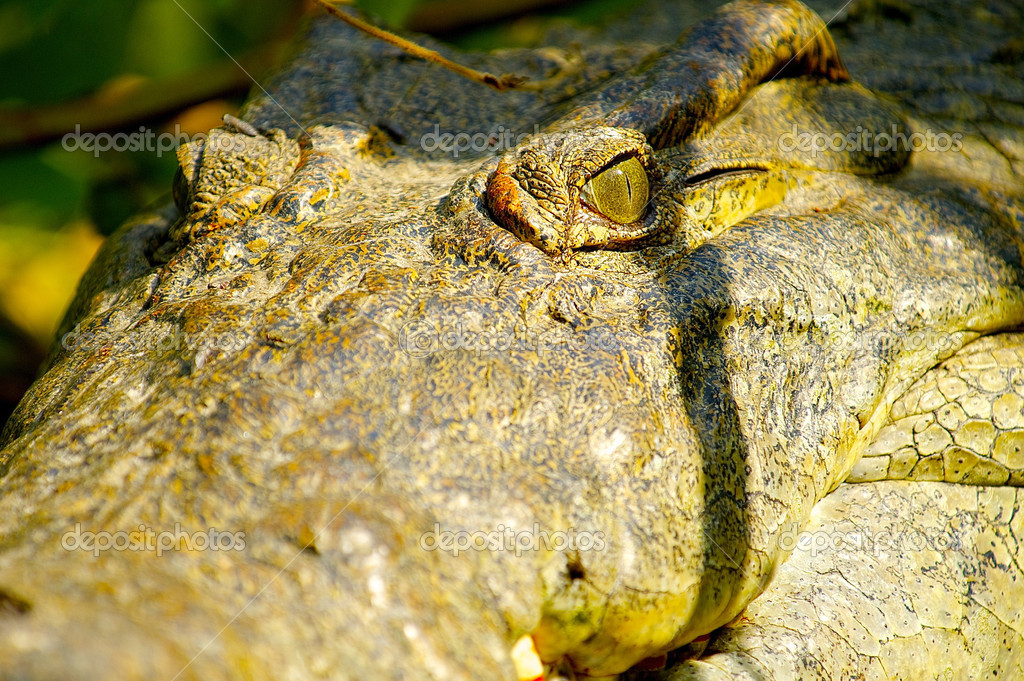 Head from a crocodile  Stock Photo #13926876