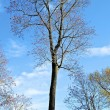Tree without leaves in front of the sky — Stock Photo