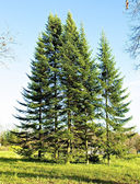 Fir-trees in the field — Stock Photo