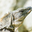 Iguana from Mexico — Stock Photo