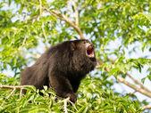 Howler monkey on the tree — Stock Photo