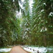 Fir wood in Russian region Pushkinskie gory where Russian famous — Stock Photo