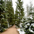 Stock Photo: Snowy forest in winter