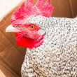 Big Russian hen with tighten legs — Stock Photo