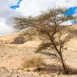 Tree grown from the ground in Timna Valley, Israel — Stock Photo #16223545