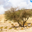 Tree grown from the ground in Timna Valley, Israel — Stock Photo #16223551