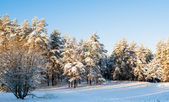 Beautiful view of a Russian forest in winter — Stock Photo