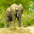 Portrait of walking elephant — Stock Photo #16921369