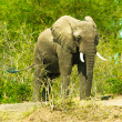 Portrait of an walking elephant — Stock Photo #16921373