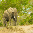 Stock Photo: Portrait of an walking elephant