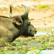 Buffalo lays on the coast of the river — Foto Stock