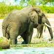 Elephant on the coast of the river — Stock Photo