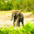 Stock Photo: Portrait of small elephant in Africa, Uganda