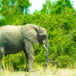 Stock Photo: Africa, elephant walks over savanna