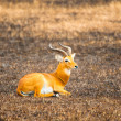 Portrait of an laying antelope in Africa — Foto de Stock