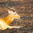 Foto Stock: Antelope lays on ground in Africin savanna