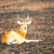 ������, ������: Antelope lays on the ground in Africa in savanna
