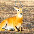 Foto Stock: Antelope lays on ground in Savanna, Africa