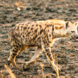 Foto Stock: Hyenwalks in savanna, Uganda, Africa