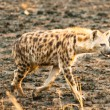 Hyenwalks in savanna, Uganda, Africa — Foto Stock #16921807