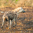 Hyena walks in savanna, Uganda, Africa — Stock Photo