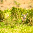 Stock Photo: Deers togeether hide in grass