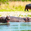 Stock Photo: Storks feel very comfortable on hippopotamus backs
