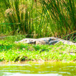 African crocodile on the grass of the coast — Stock Photo