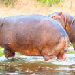 Hippopotamus in love with one another — Stock Photo