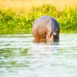 African hippopotamus drinks the water from the river — Stock Photo