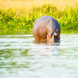 Africhippopotamus drinks water from river — Stock Photo #16922041