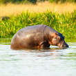 Stock Photo: African hippopotamus drinks the water from the river