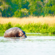Africhippopotamus drinks water from river — Stock Photo #16922049