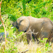 Foto Stock: Elephant goes trough savanna