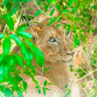 Sad eyes of a little lion cub — Stock Photo