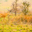 Little antelope walks over the savanna of Uganda looking for som — Stock Photo