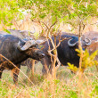 Stock Photo: Flock of buffalos from Africa