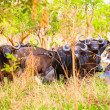 Flock of the buffalos from Africa — Foto Stock