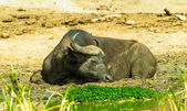 Buffalo sleeps on the coast of the river — Стоковое фото