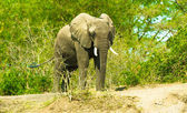 Portrait of an walking elephant — Foto Stock