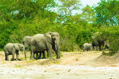 Family of the elephants in Africa — Stock Photo