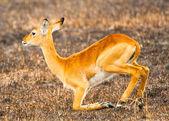 African antelope on the knees in Africa, Uganda — Stock Photo