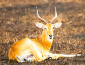 Antelope blinks with the eye — Foto Stock