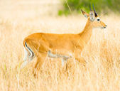 Beautiful antelope walks in the yellow long grass — Stock Photo